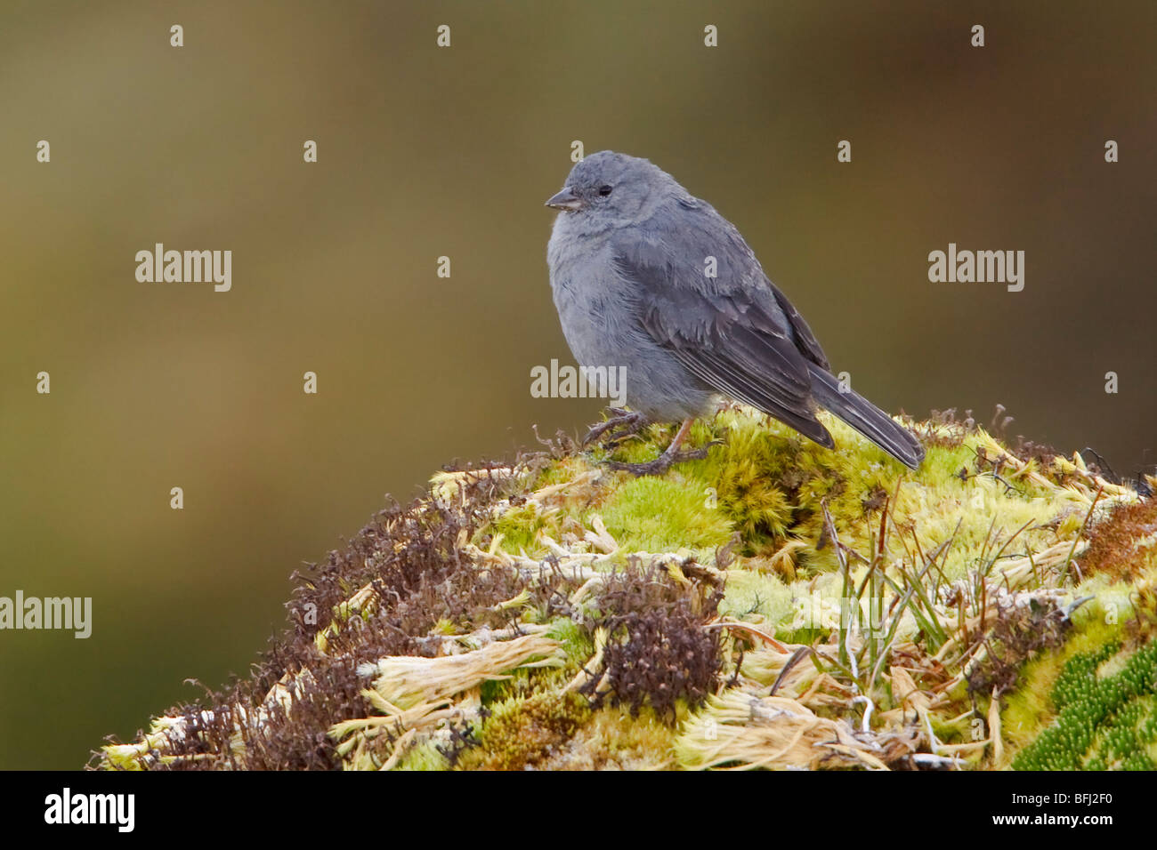 perched on paramo vegetation in the highlands of Ecuador. - Stock Image