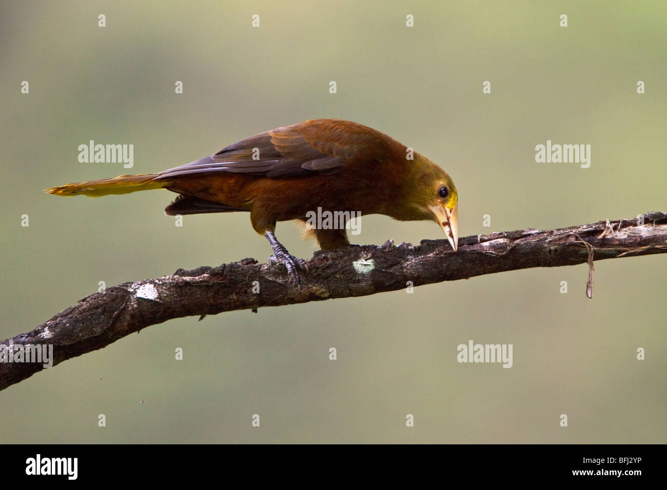 Russet-backed Oropendola (Psarocolinus angustifrons) perched on a branch near Podocarpus National Park in southeast - Stock Image