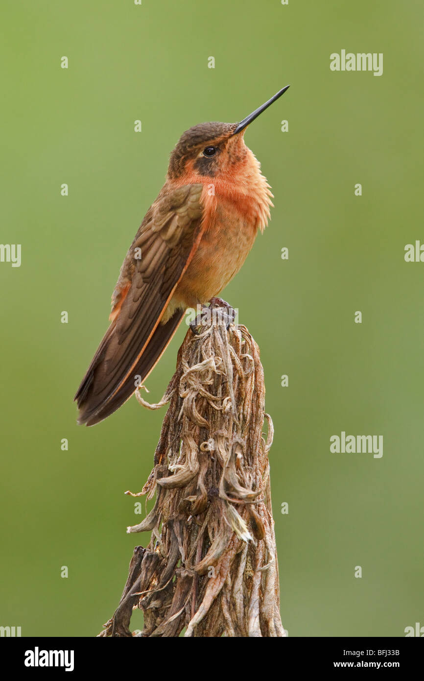 Shining Sunbeam (Aglaeactis cupripennis) perched on a branch near the Papallacta Pass in the highlands of central - Stock Image