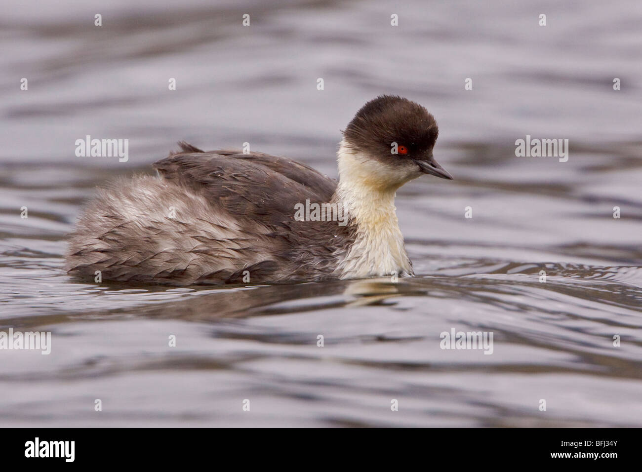 Silvery Grebe (Podiceps occipitalis) swimming in a lake in the highlands of Ecuador. - Stock Image