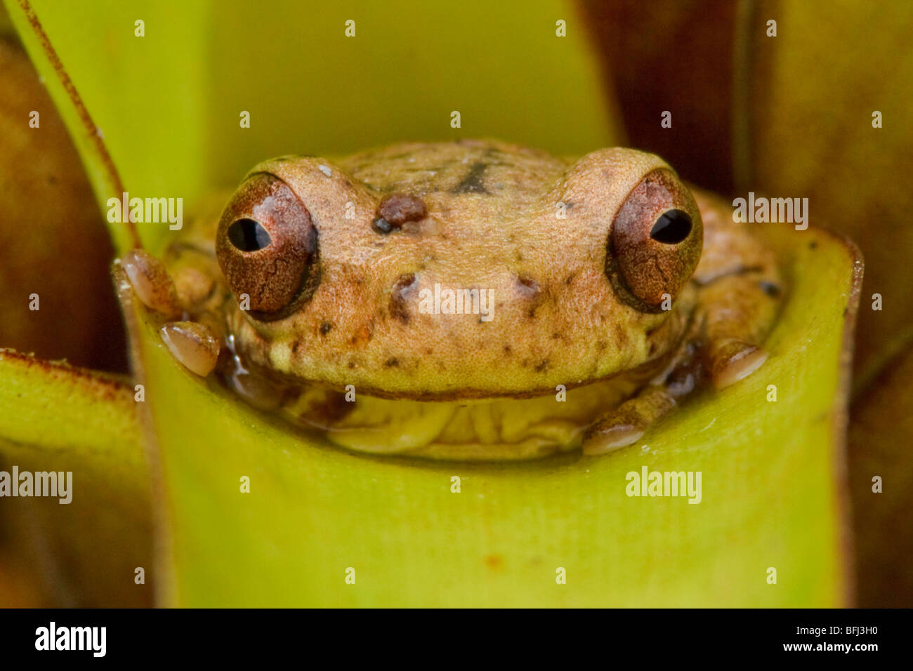 A treefrog perched on a bromeliad in the Tandayapa Valley of Ecuador. - Stock Image
