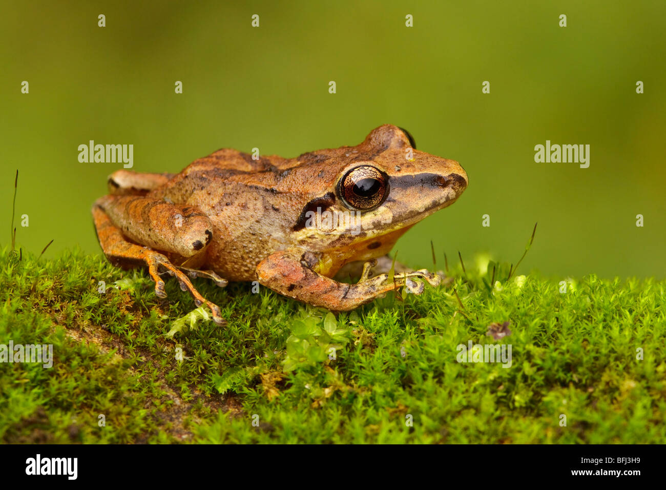 A treefrog perched on a mossy rock in the Tandayapa Valley of Ecuador. - Stock Image