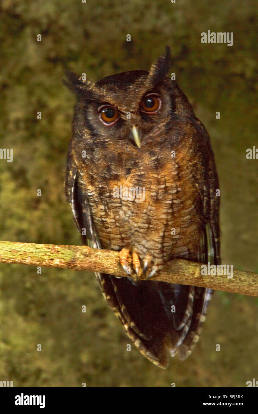 Tawny-bellied Screech-Owl (Otus watsonii) perched on a branch near the Napo River in Amazonian Ecuador. - Stock Image