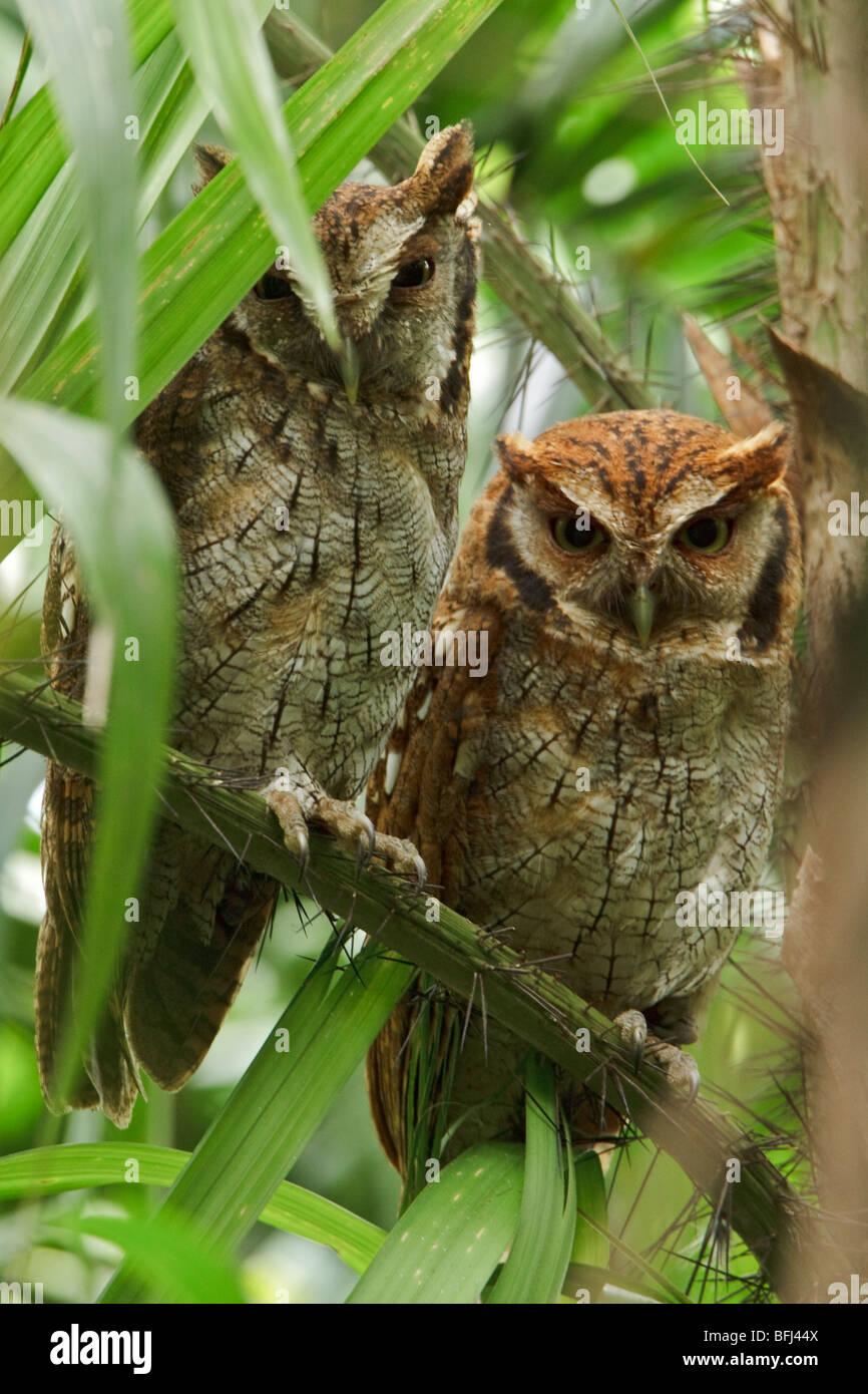 Tropical Screech-Owl (Otus choliba) perched on a branch near the Napo River in Amazonian Ecuador. - Stock Image