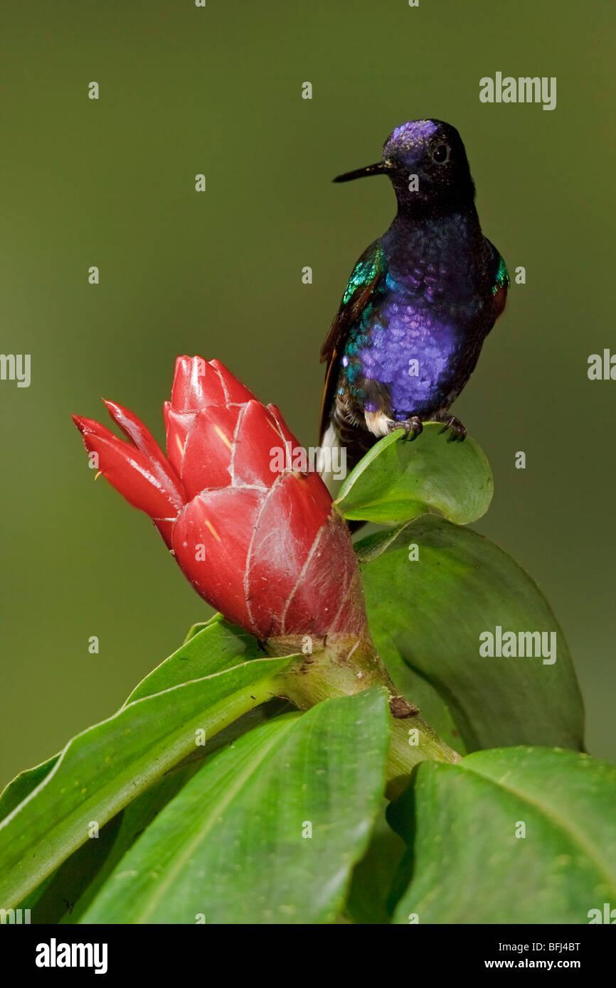Velvet-purple Coronet (Boissonneaua jardini) feeding at a flower while flying in the Milpe reserve in northwest Stock Photo