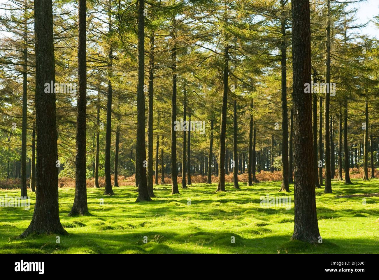 Clearing in a conifer wood, Dartmoor, Devon UK Stock Photo