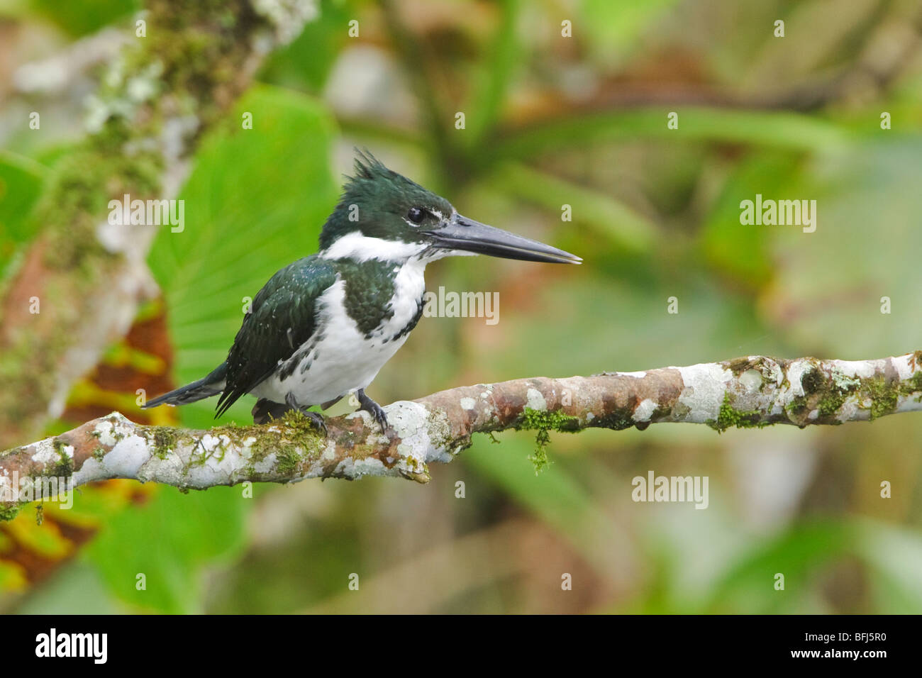 Amazon Kingfisher (Chloroceryle amazona) perched on a branch near the Napo River in Amazonian Ecuador. - Stock Image