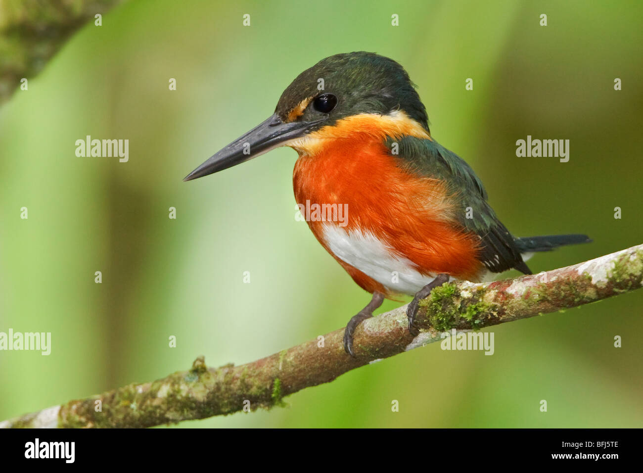 American Pygmy Kingfisher (Chloroceryle aenea) perched on a branch near the Napo River in Amazonian Ecuador. - Stock Image
