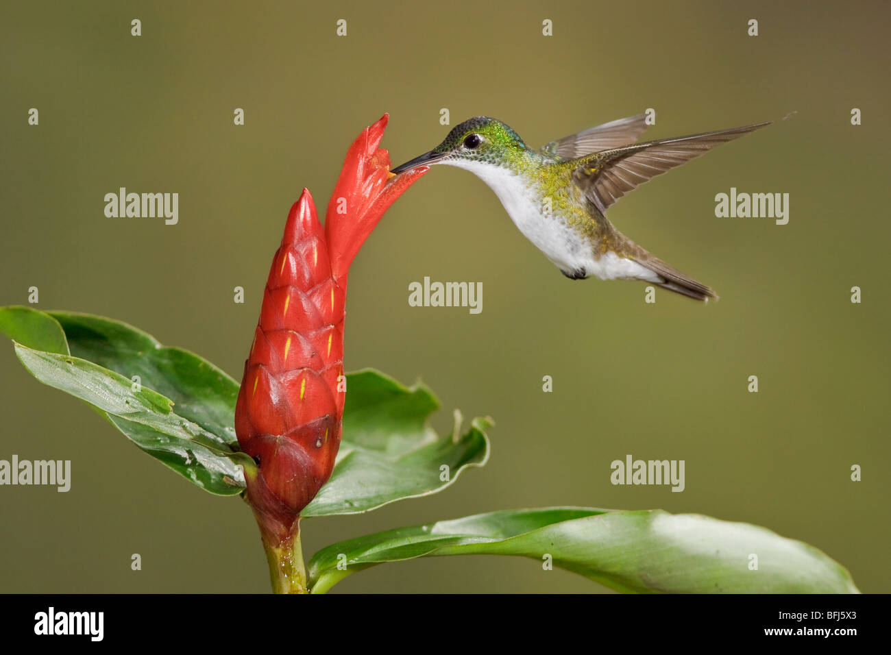 Andean Emerald hummingbird (Amazilia franciae) feeding at a flower while flying at Bueneventura Lodge in southwest - Stock Image