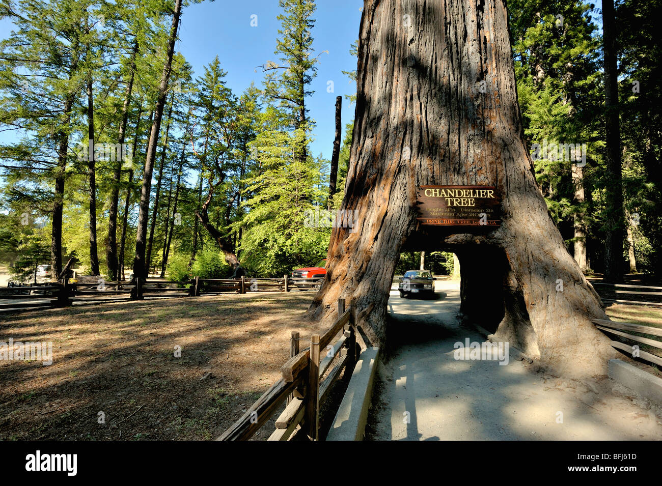 Chandelier tree in the coastal redwood forests of north california chandelier tree in the coastal redwood forests of north california usa arubaitofo Gallery