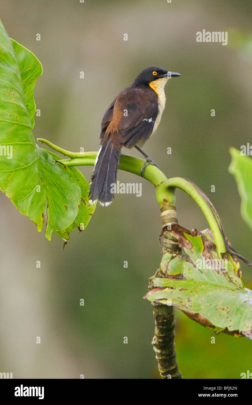 Black-capped Donacobius (Donacobius atricapillius) perched on a branch near the Napo River in Amazonian Ecuador. - Stock Image