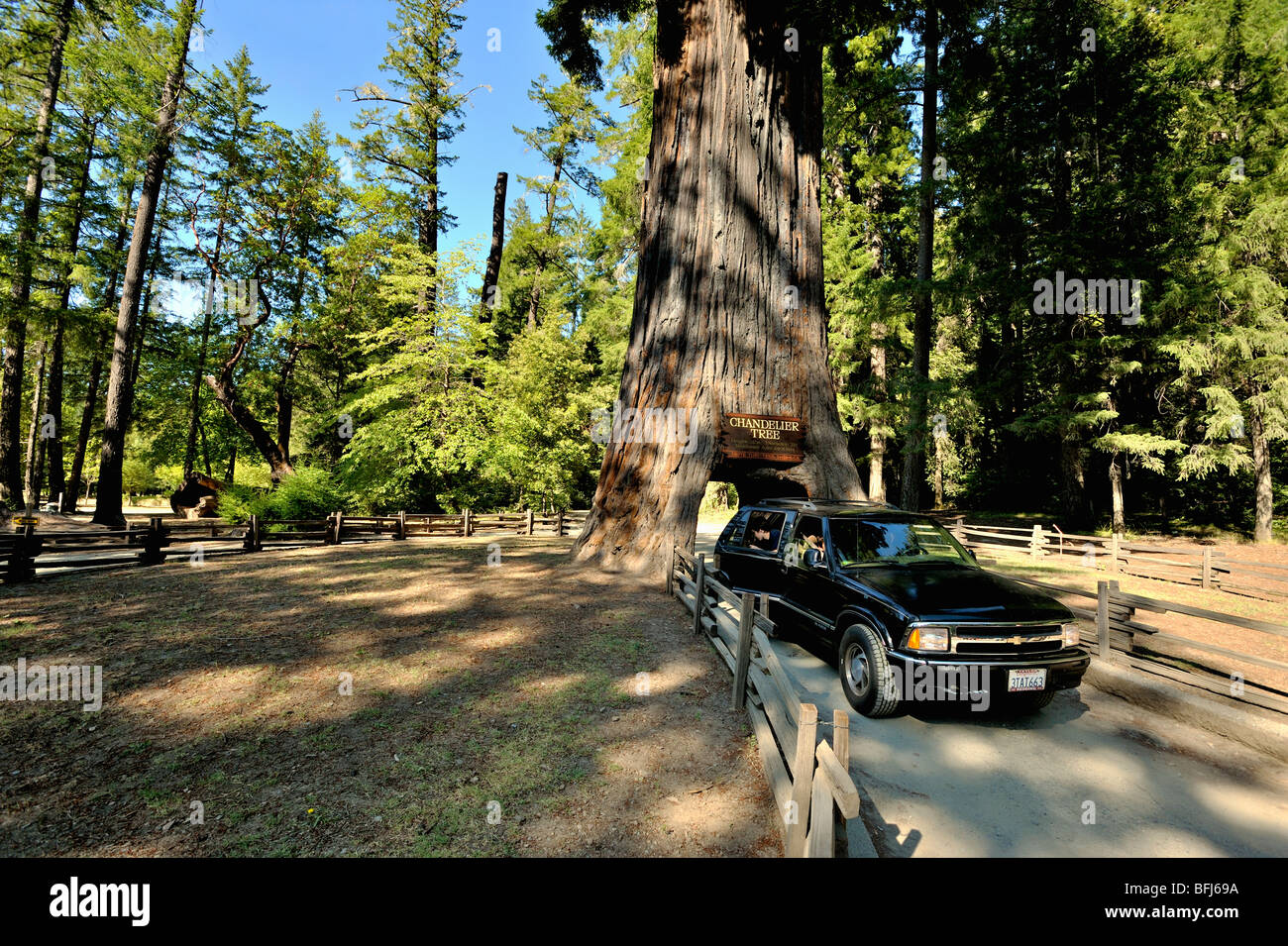 Chandelier tree in the coastal Redwood forests of north California, USA - Stock Image