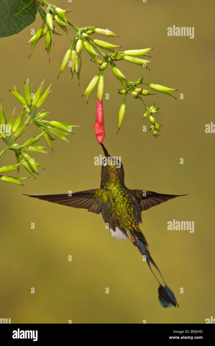 A male Booted Racket-tail hummingbird (Ocreatus underwoodii) flying and feeding at a flower in the Tandayapa Valley Stock Photo