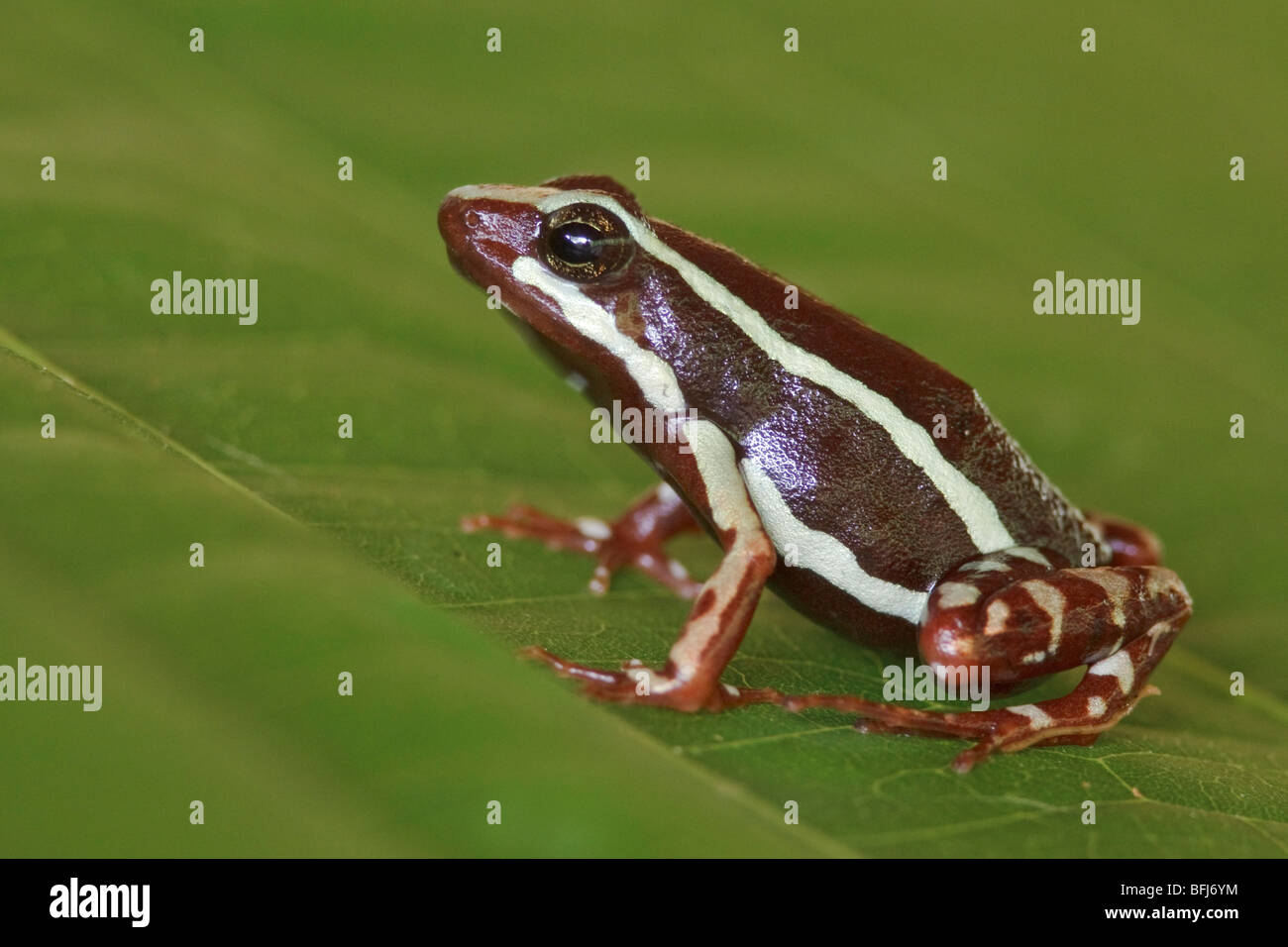A frog perched on a leaf at Buenaventura Lodge in southwest Ecuador. - Stock Image