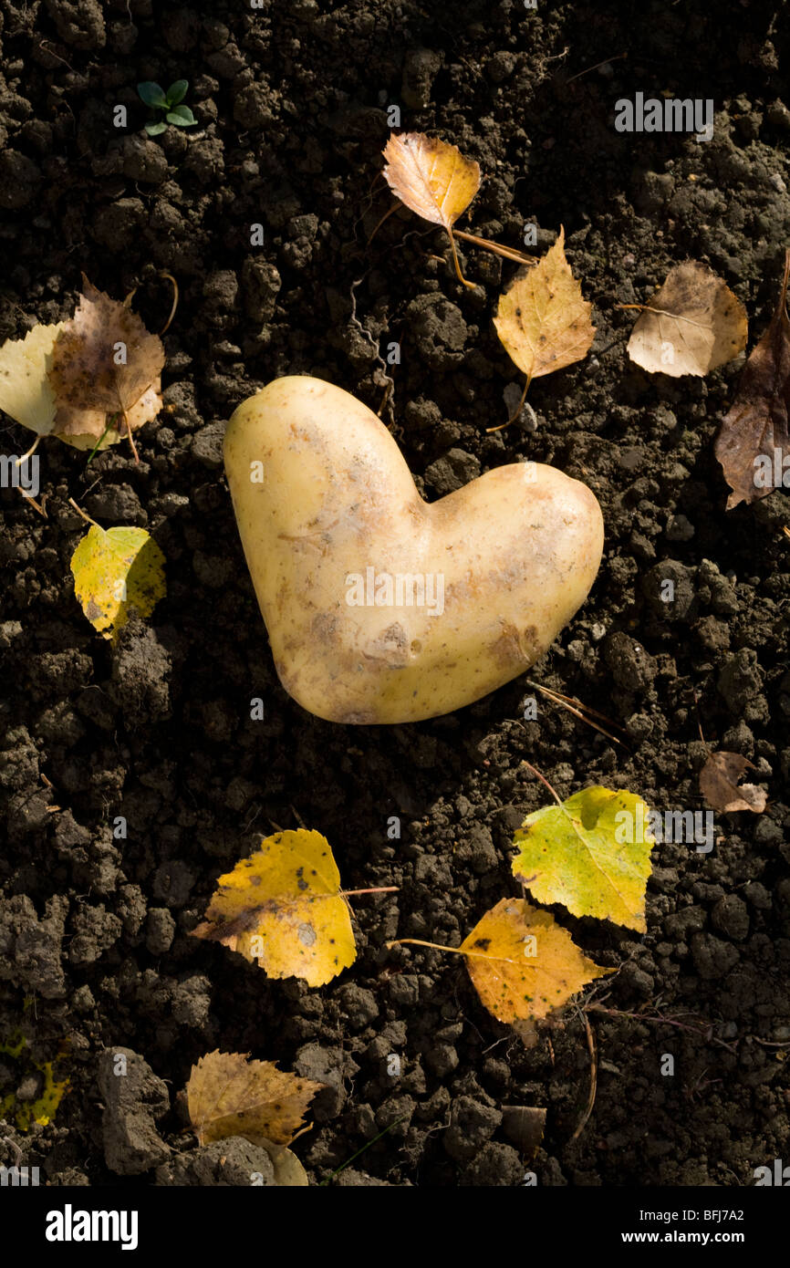 A heart-shaped potato on the ground, Sweden. - Stock Image