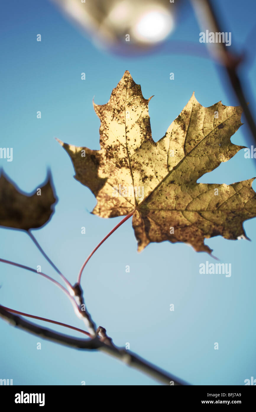 Autumn leaves against a blue sky, Sweden. - Stock Image