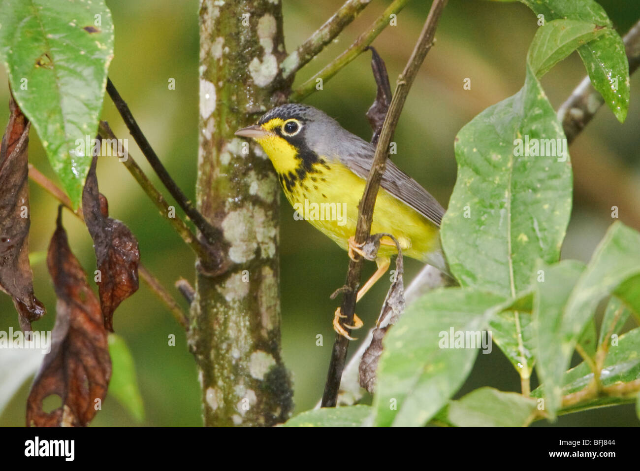 A migratory Canada Warbler (Wilsonia canadensis) perched on a branch near Podocarpus National Park in southeast - Stock Image