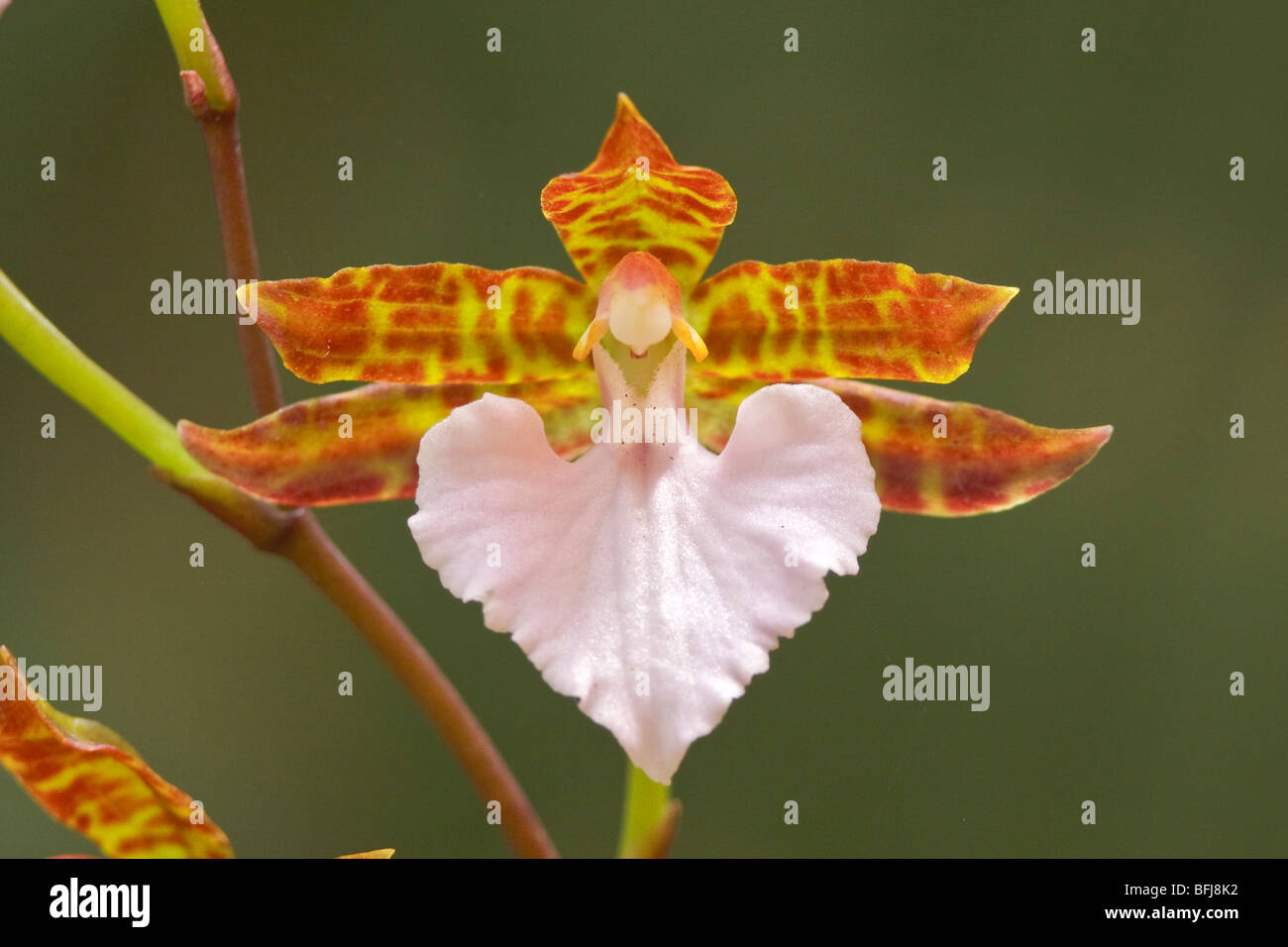 A beautiful orchid flower in an Ecuadorian rainforest. Stock Photo