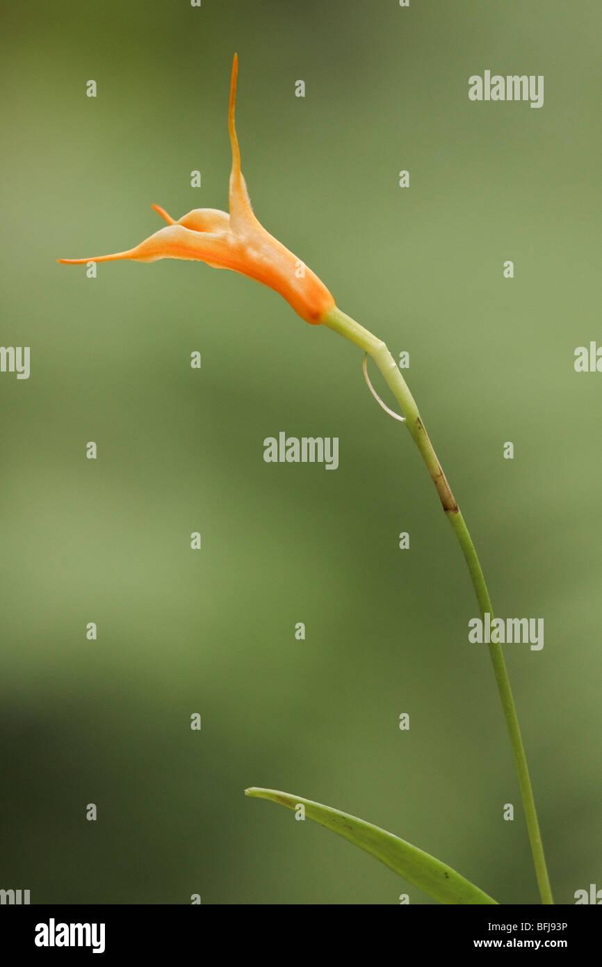 A beautiful orchid flower in an Ecuadorian rainforest. - Stock Image