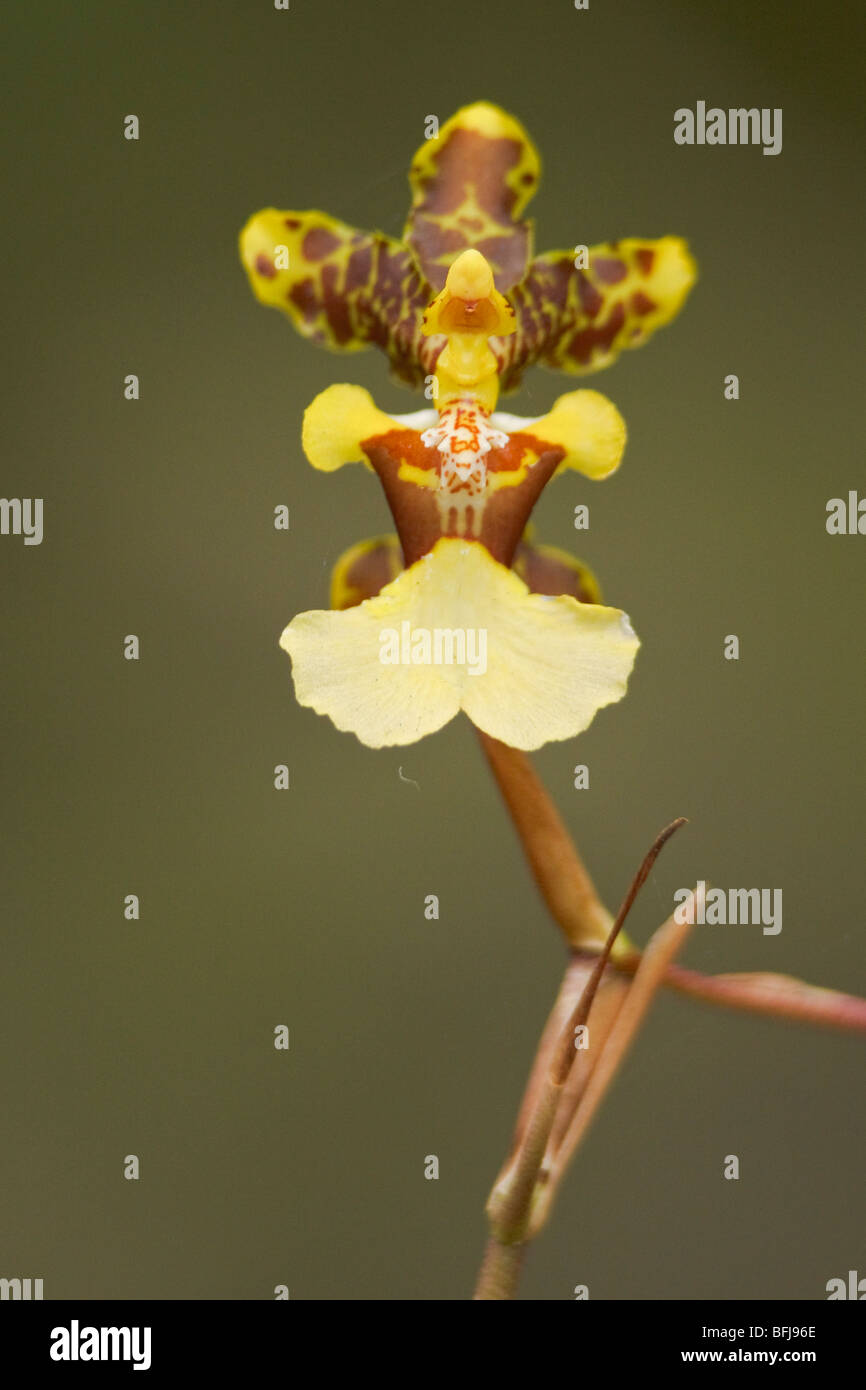 A beautiful orchid flower in an Ecuadorian rainforest. - Stock Image