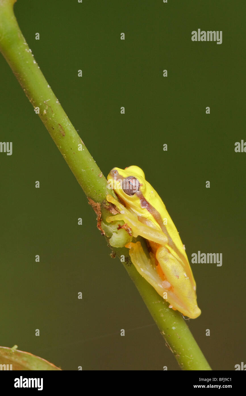 A yellow frog perched on a branch in Podocarpus national Park in southeast Ecuador. - Stock Image