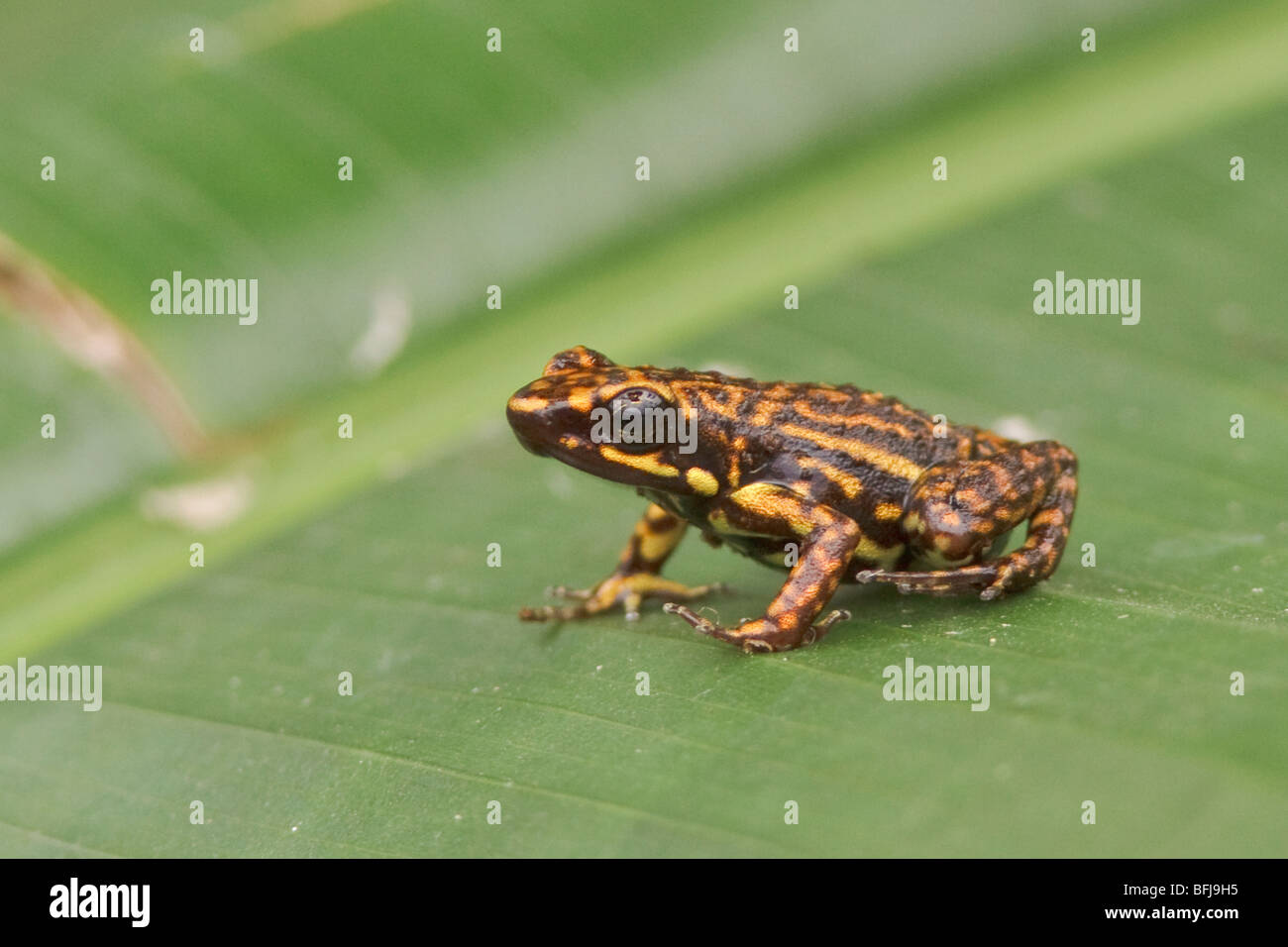 A Poison-dart Frog perched on a leaf in northwest Ecuador. - Stock Image