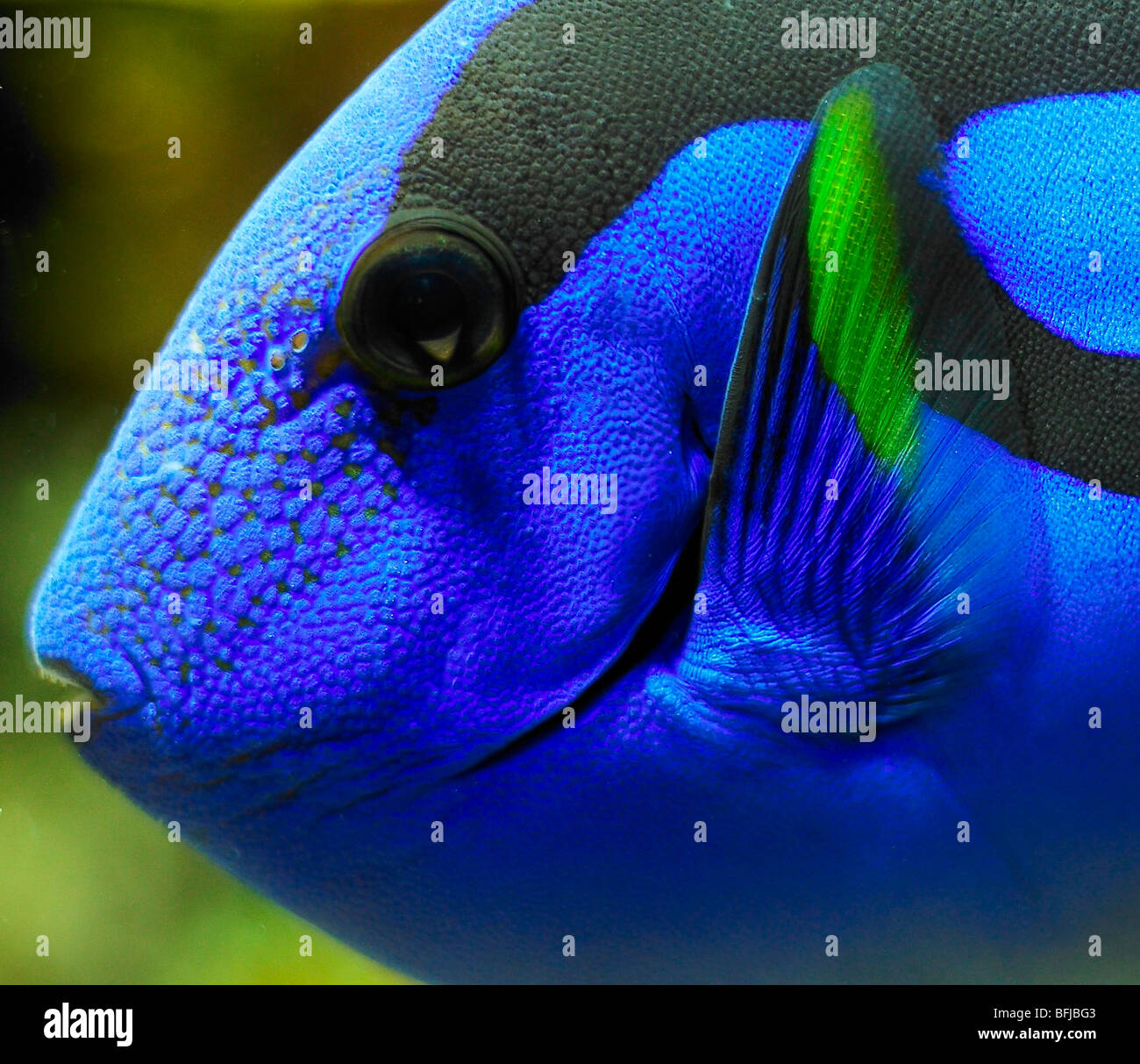 close up of regal tang - Stock Image