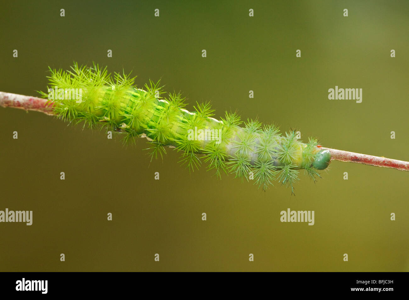 A caterpillar perched on a branch in the Milpe reserve in northwest Ecuador. - Stock Image