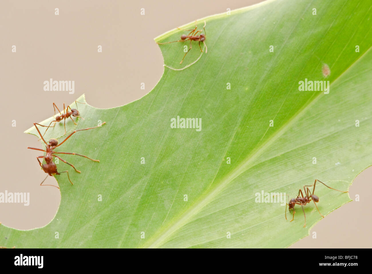 Leafcutter Ants Working On A Leaf In Ecuador Stock Photo 26834956