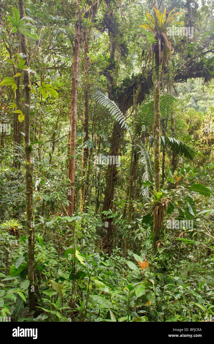 A view of the rainforest in Podocarpus national Park in southeast Ecuador. - Stock Image