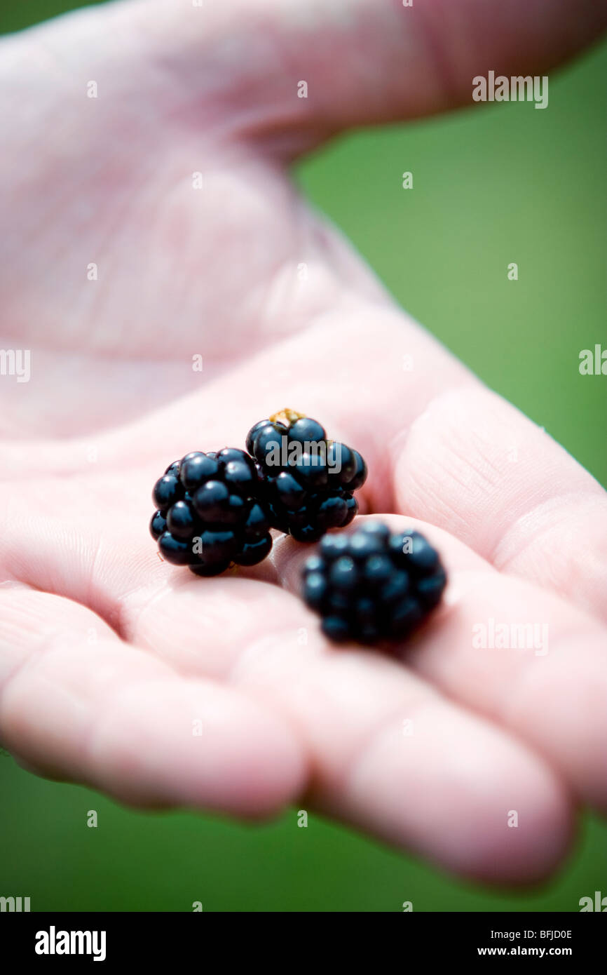 Three blackberries in the palm of someone¥s hand, Sweden. - Stock Image