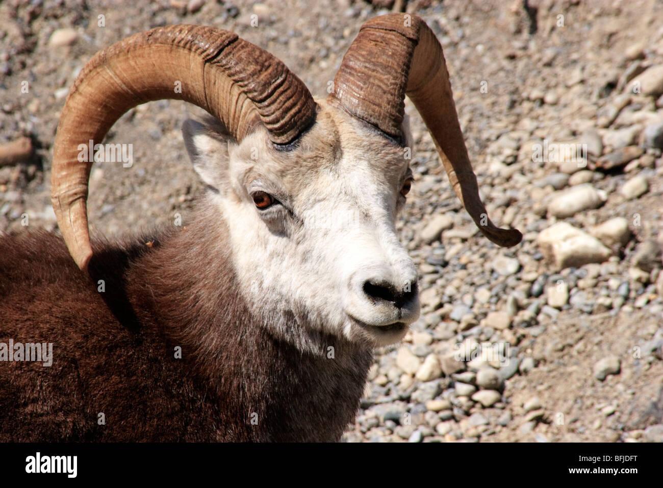 Big Horn Sheep in British Columbia, - Stock Image