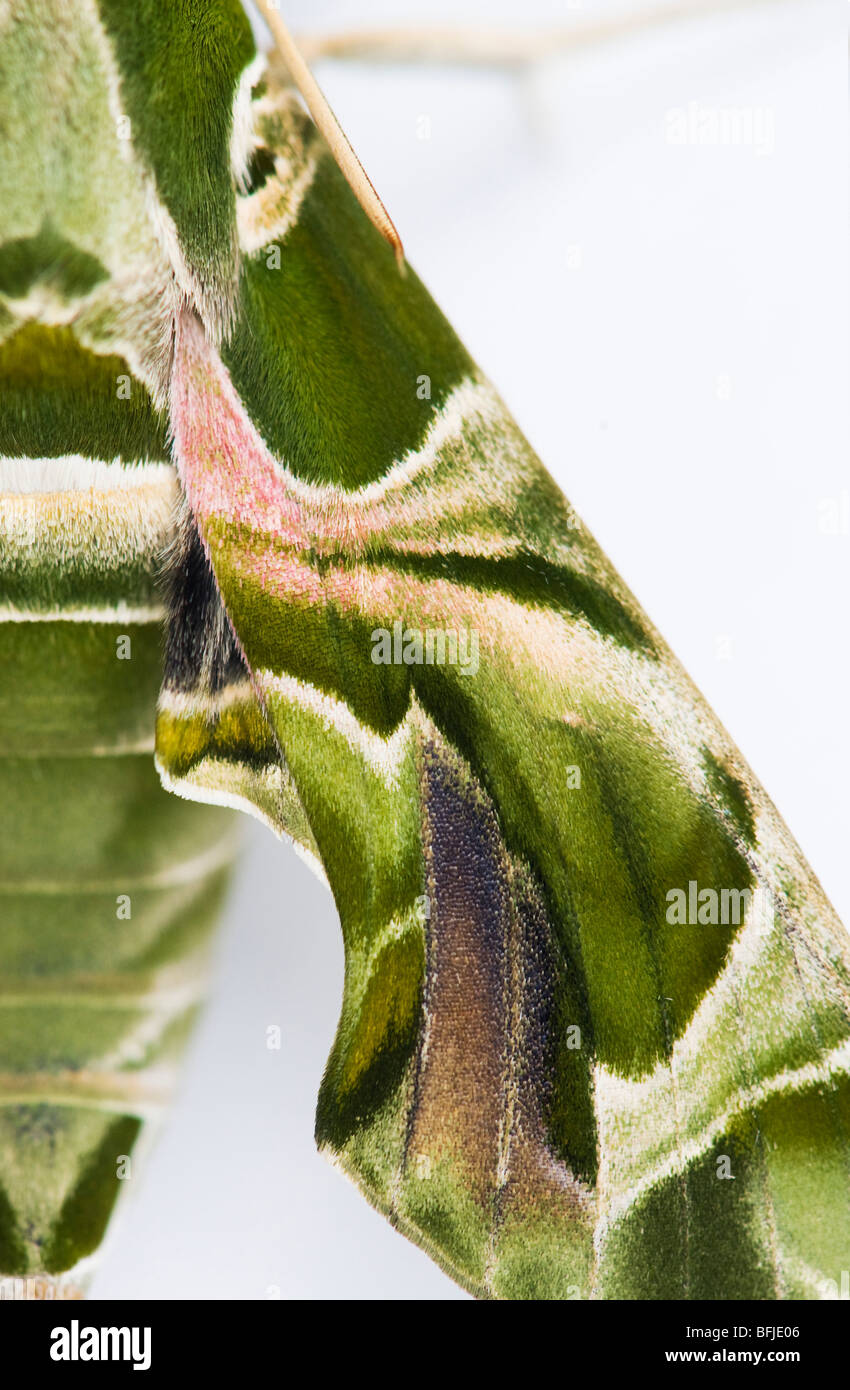 Oleander Hawk moth, Daphnis nerii. Abstract camouflage wing pattern - Stock Image