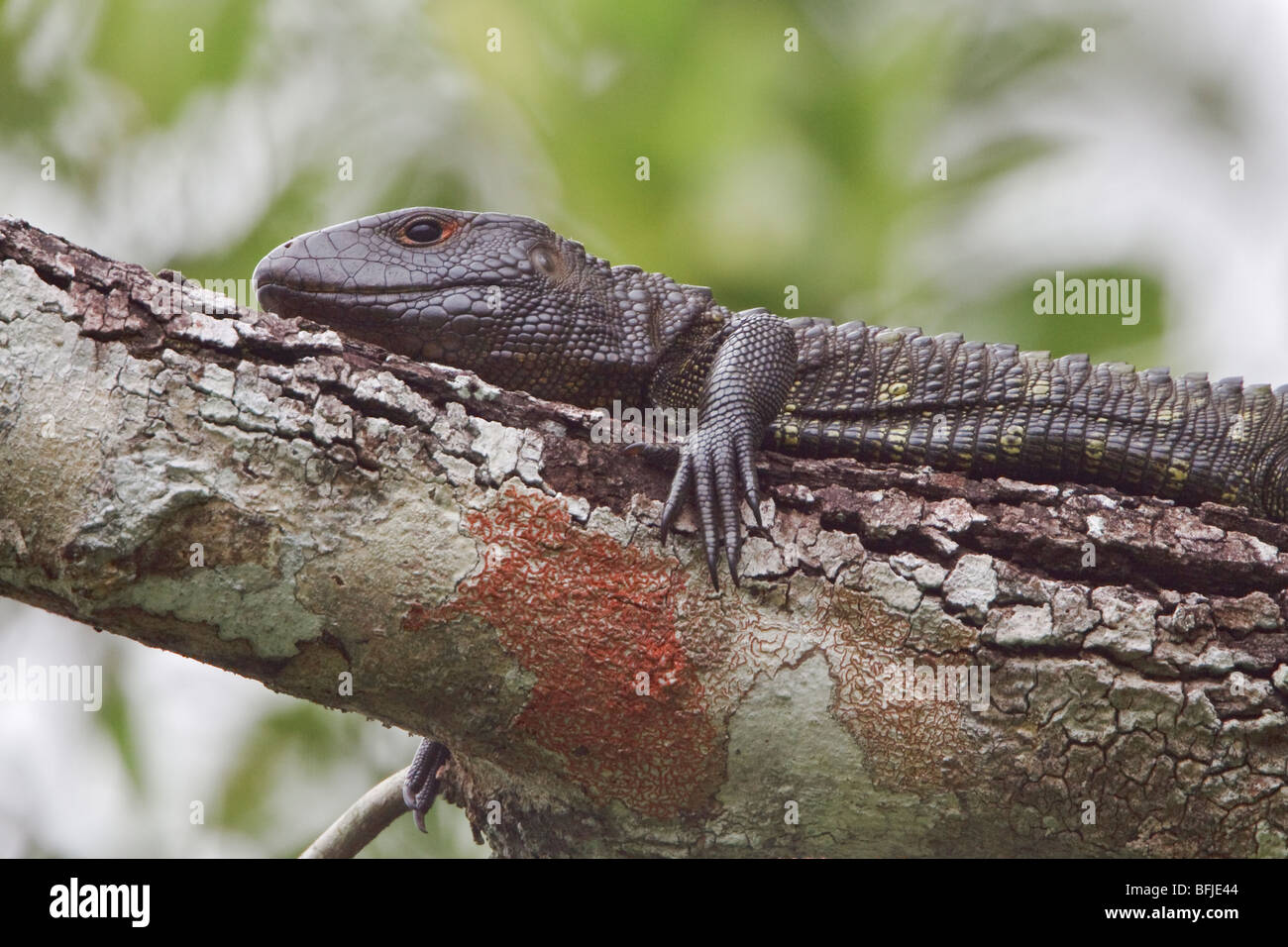 A large lizard perched on a branch sunning itself along a jungle stream in Amazonian Ecuador. - Stock Image