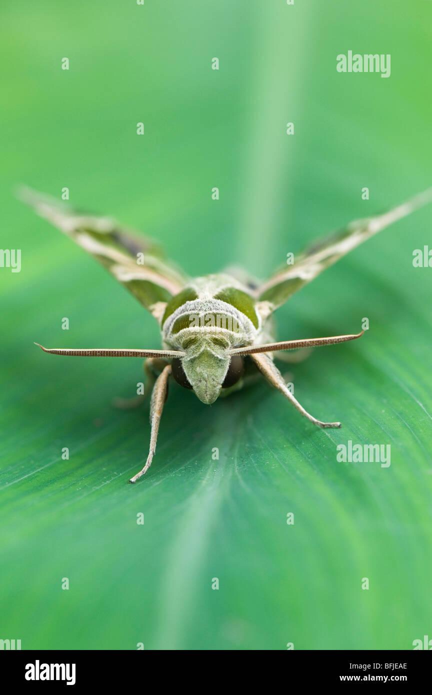 Daphnis nerii. Oleander Hawk moth - Stock Image