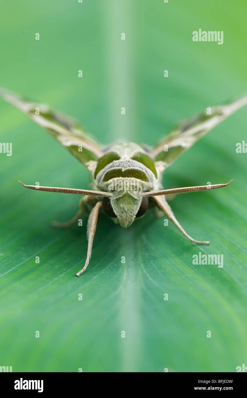 Daphnis nerii. Oleander Hawk moth. India - Stock Image