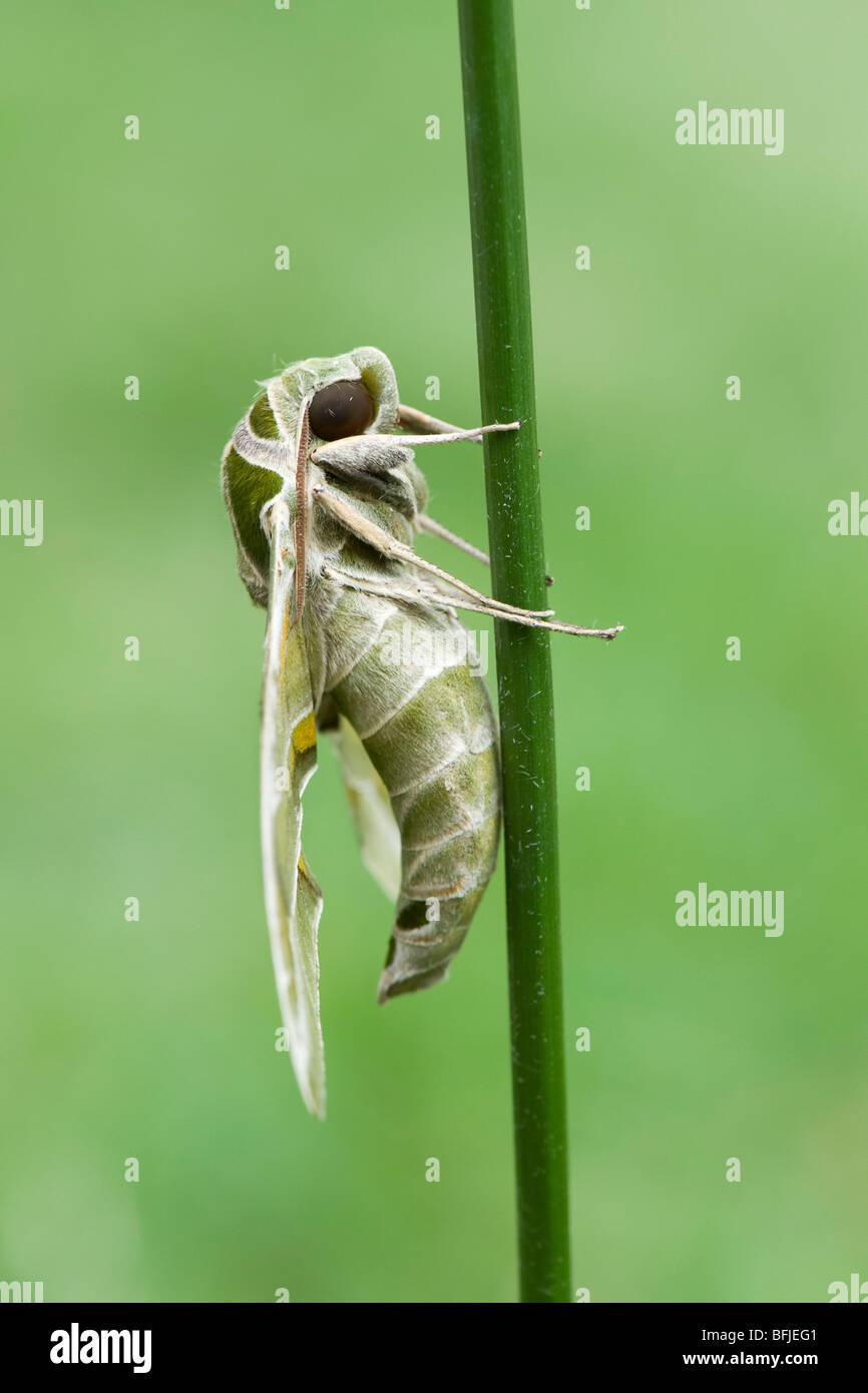 Daphnis nerii,. Oleander Hawk moth. resting on a plant stem. India - Stock Image