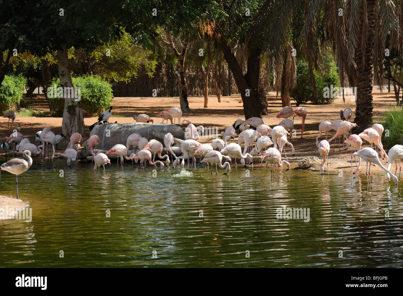 Greater Flamingoes (Phoenicopterus roseus) at the Al Ain Zoo, UAE - Stock Image