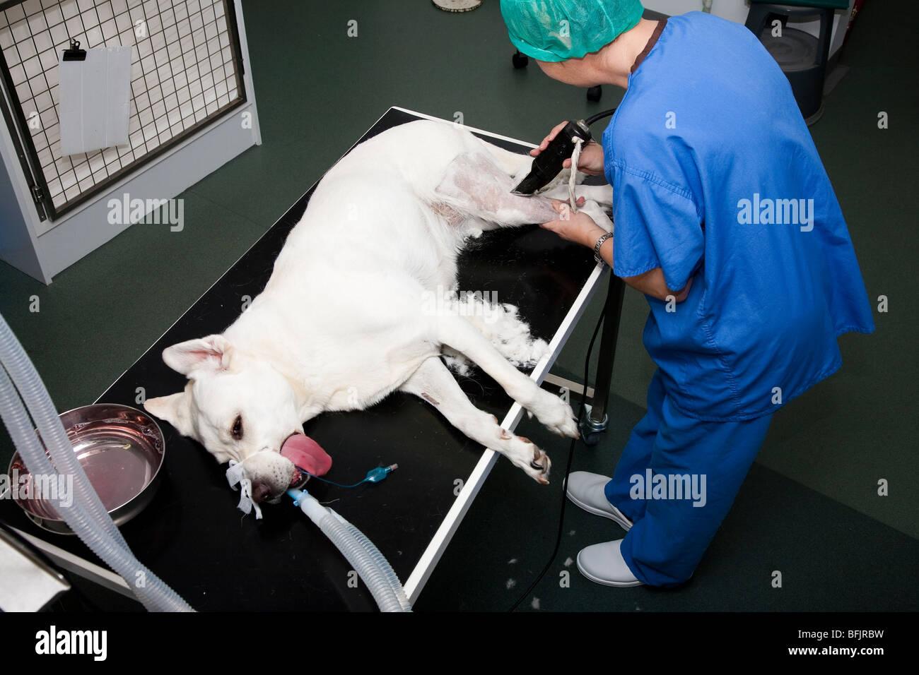Veterinary Nurse Preparing a Dog for Hindlimb Surgery - Stock Image