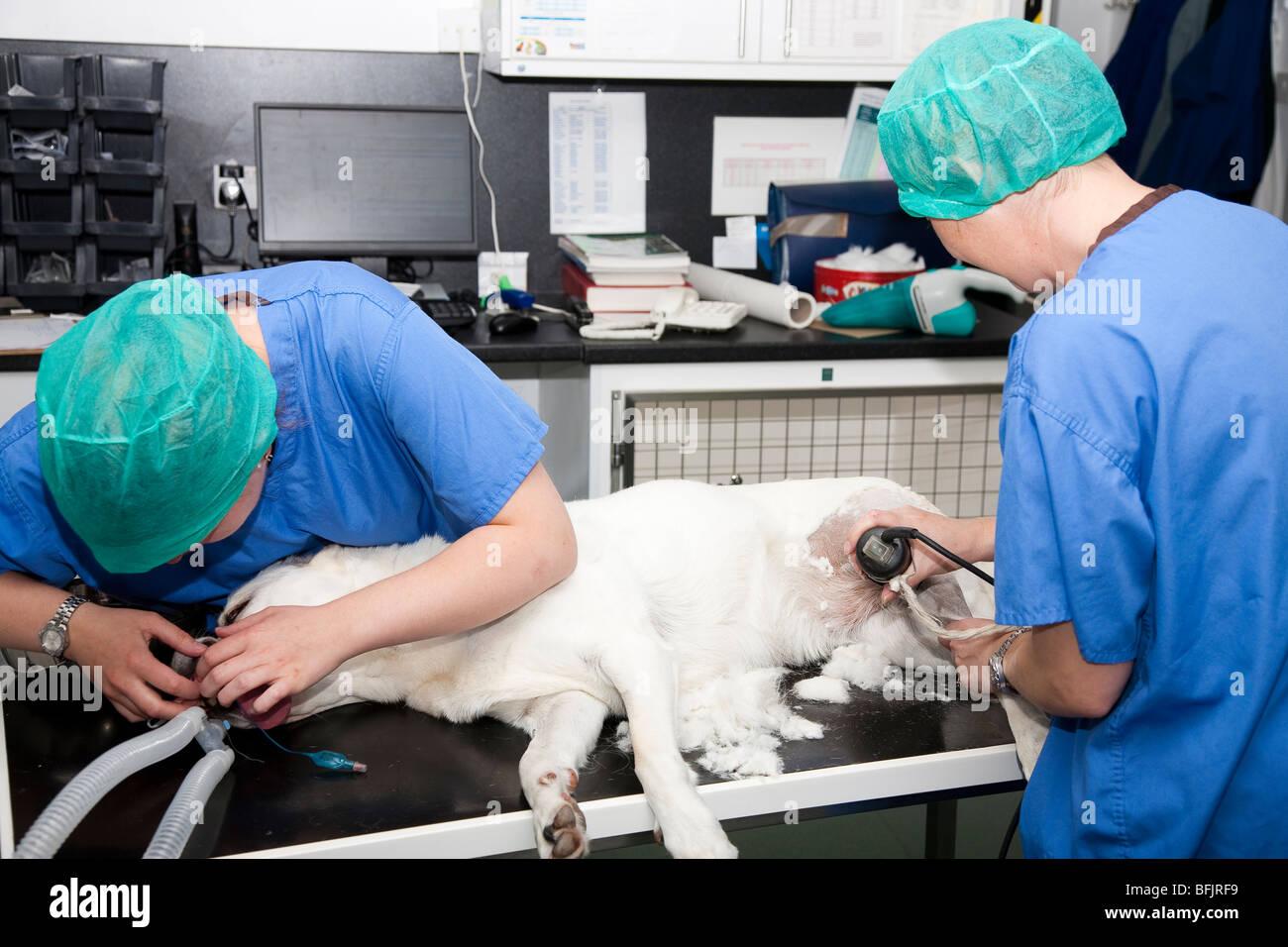 Veterinary Nurses Prepare a Dog for Surgery - Stock Image