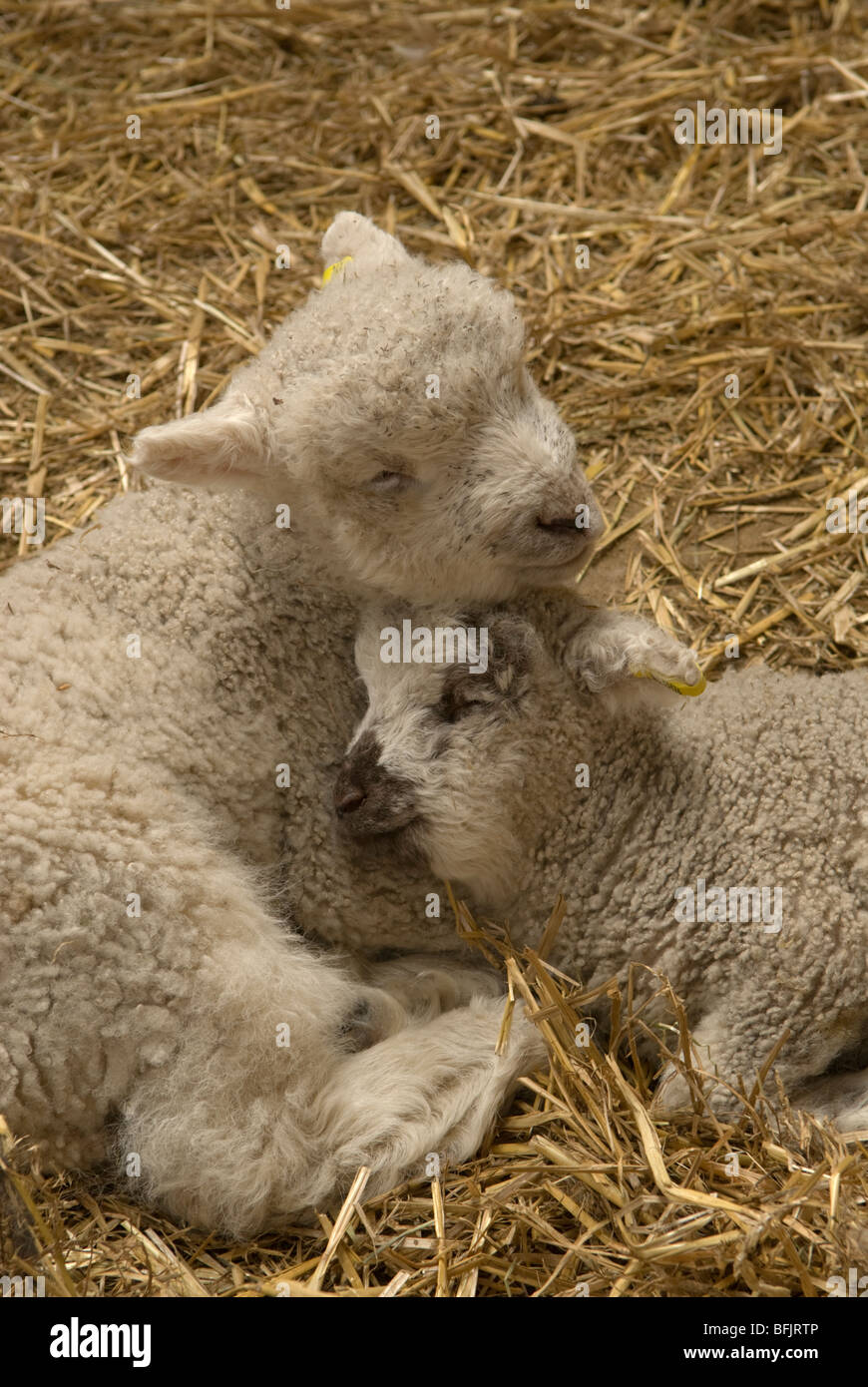 Twin lambs asleep in straw. Sussex, UK. March. - Stock Image