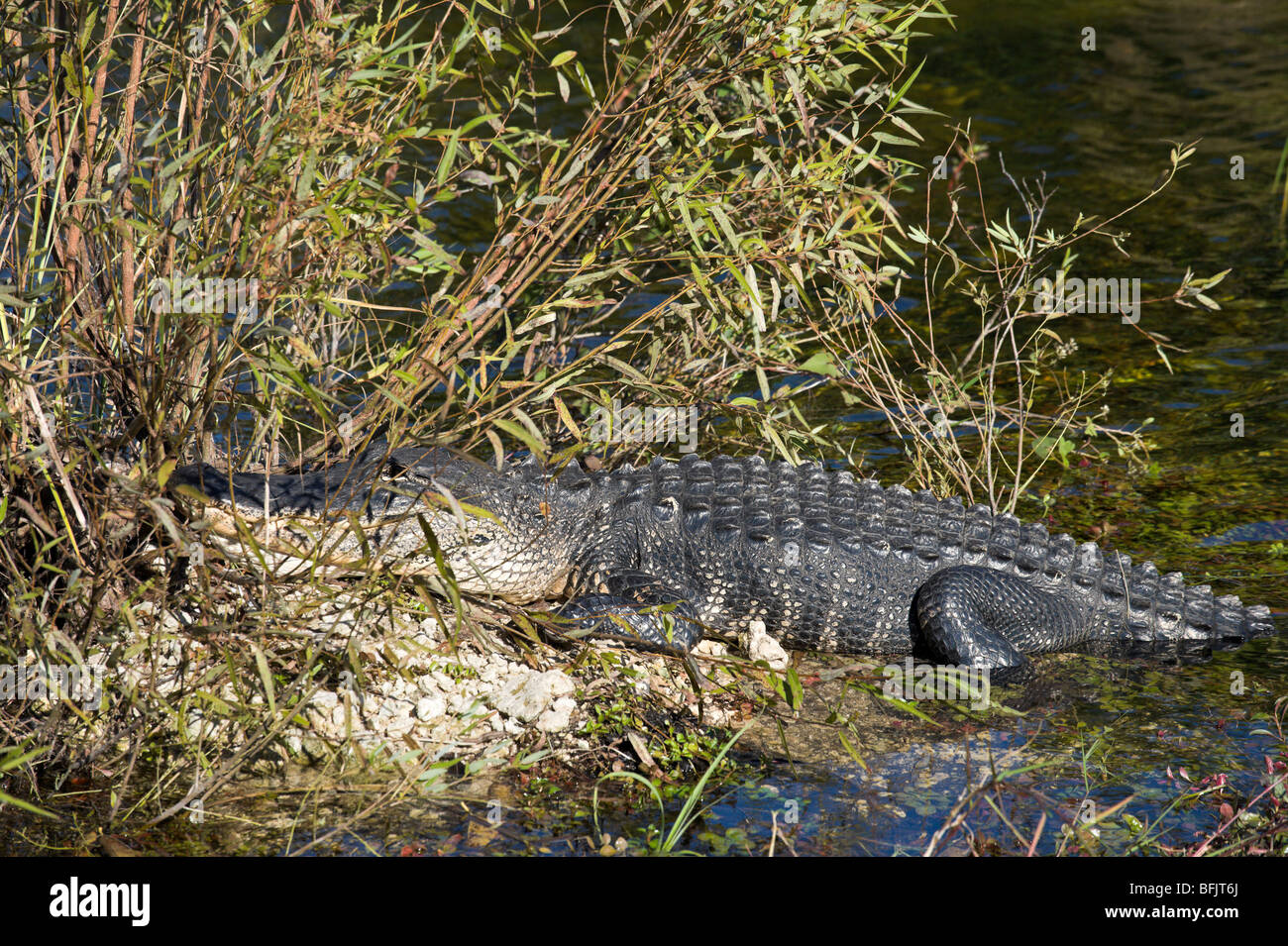 An American Alligator (Alligator mississippiensis) viewed from the Anhinga Trail, Royal Palm, Everglades National Stock Photo
