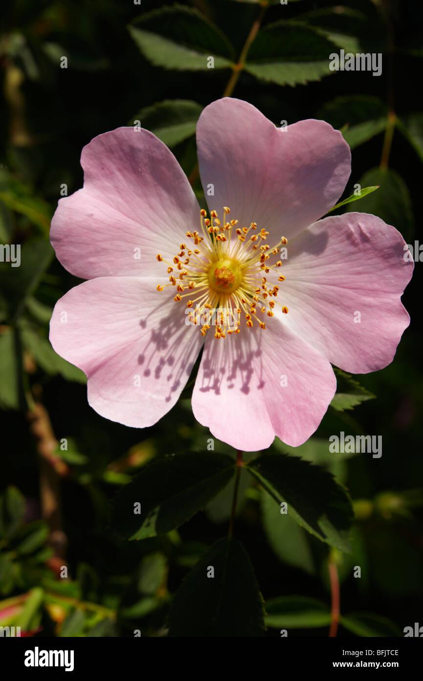 Pink wild dog rose flower (Rosa canina) - Brač island, Croatia - Stock Image