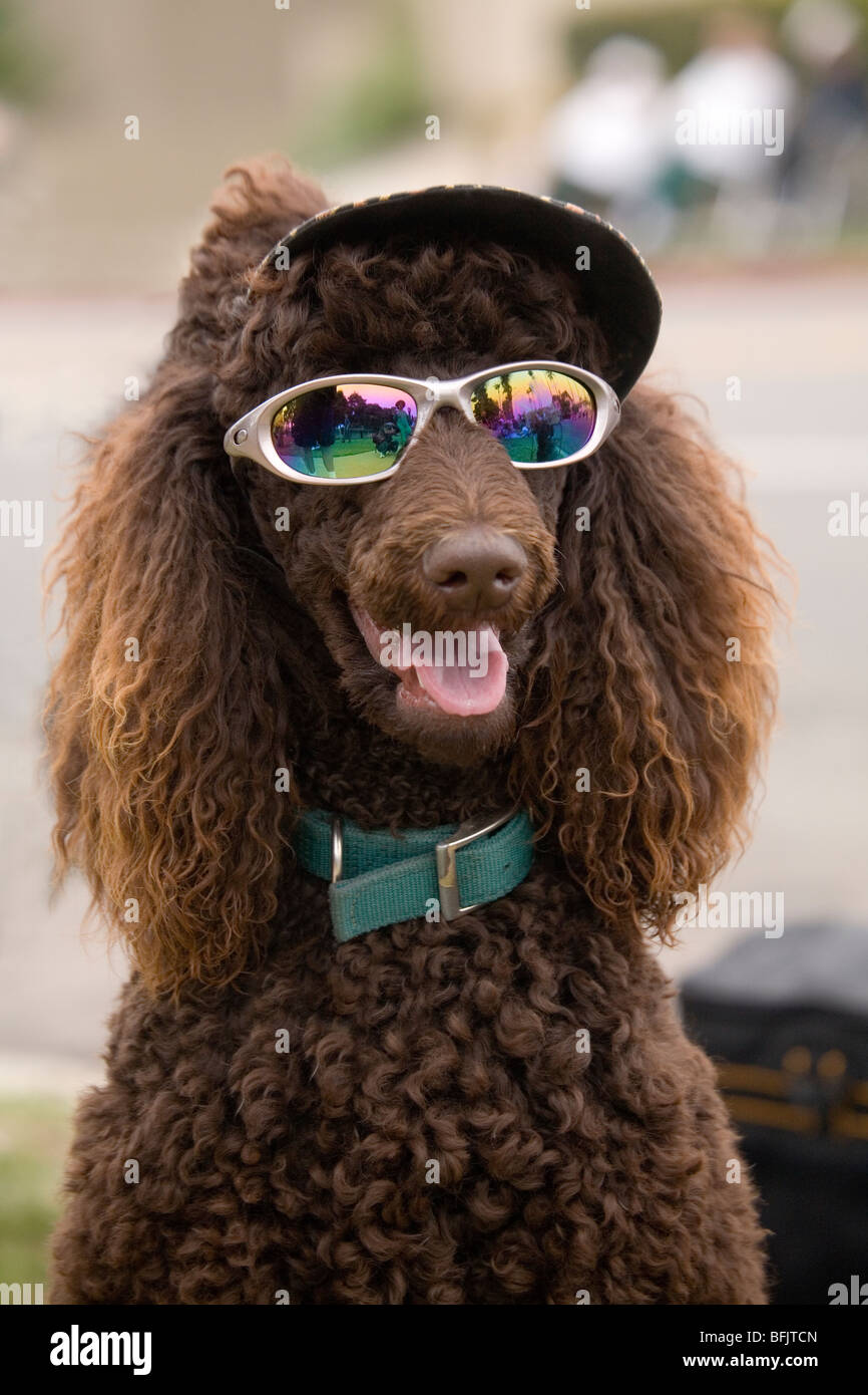 A humorous photo of a beautiful standard poodle, wearing stylish sunglasses and a visored hat, smiling at the camera. - Stock Image