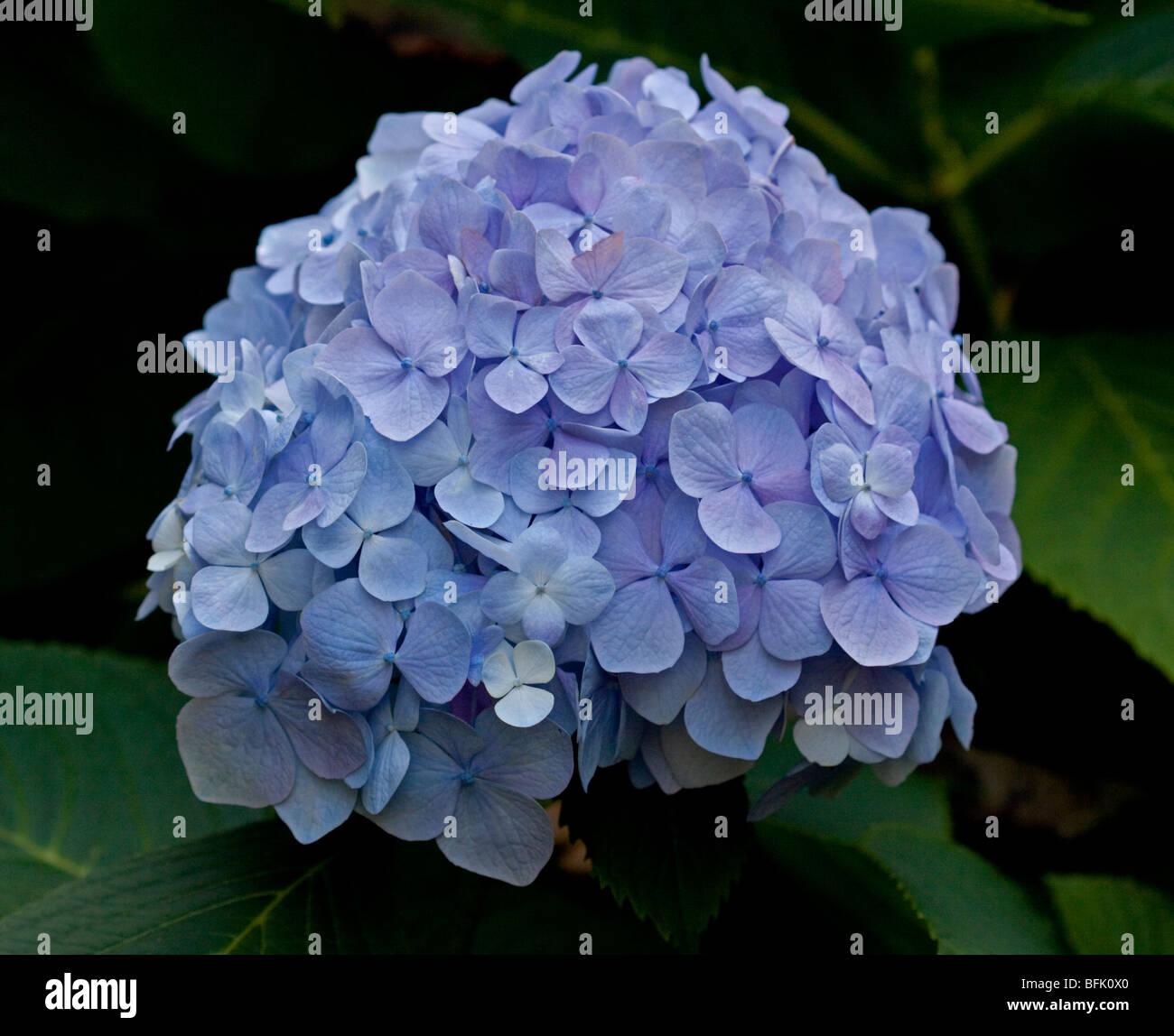Blue Hydrangea - Stock Image