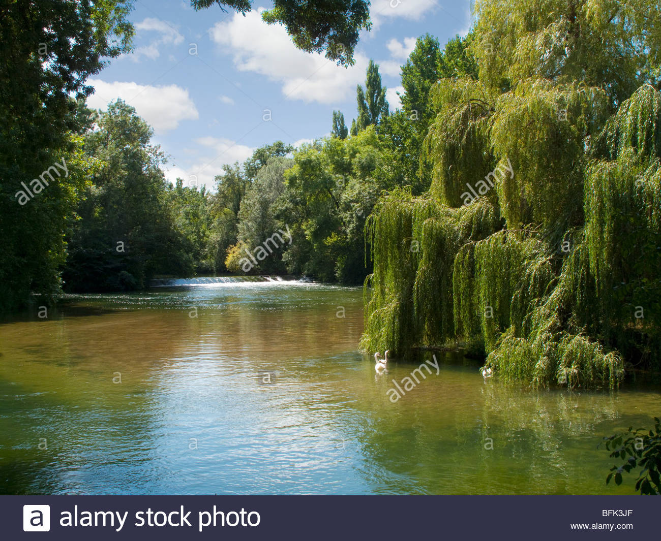 Swans in river lined by trees - Stock Image
