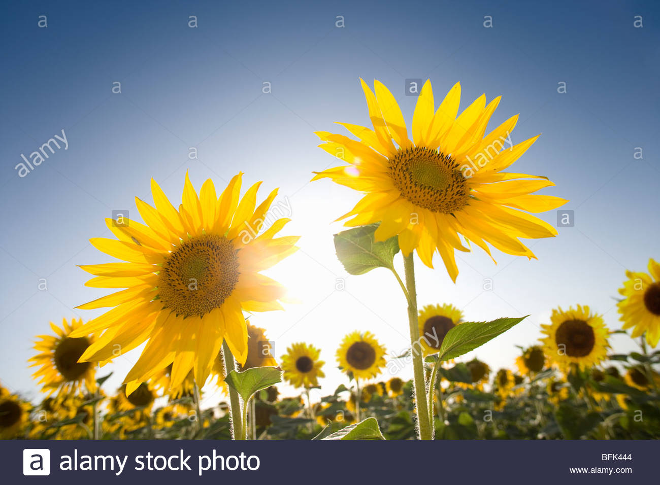 Sun shining in blue sky behind vibrant sunflowers in field - Stock Image