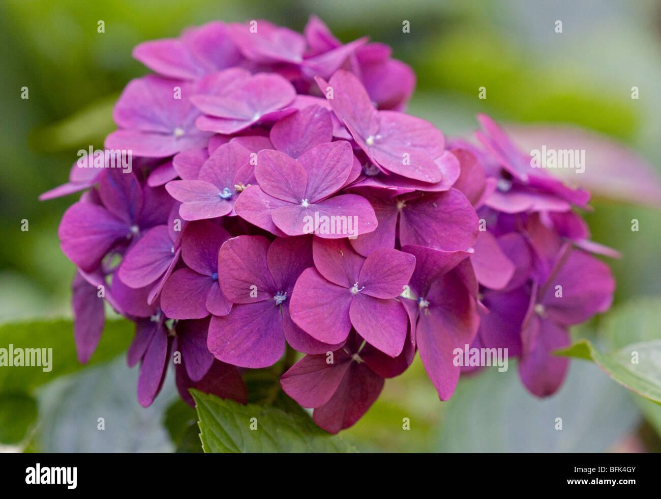 Pink Hydrangea - Stock Image