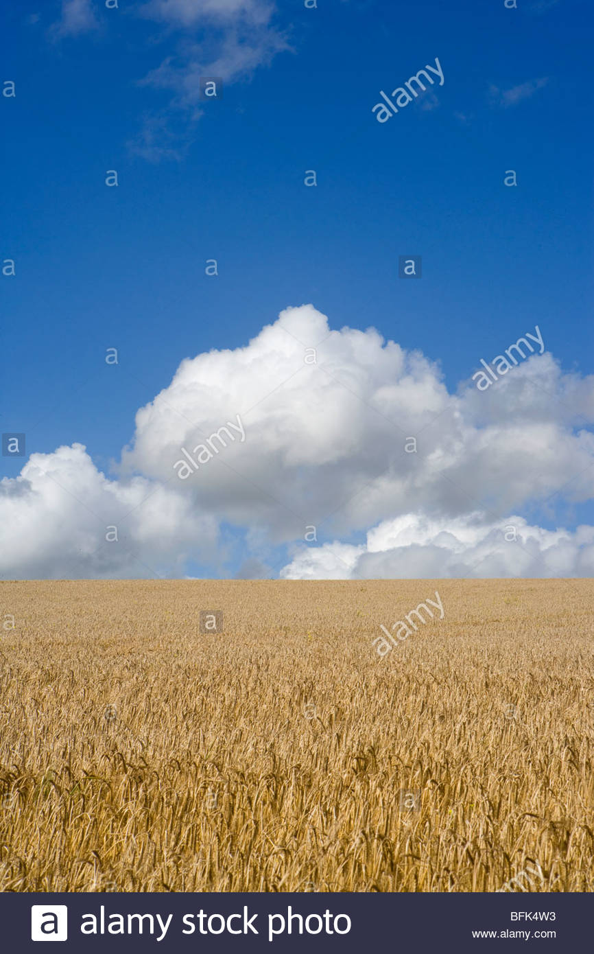 Clouds in blue sky over sunny barley field - Stock Image