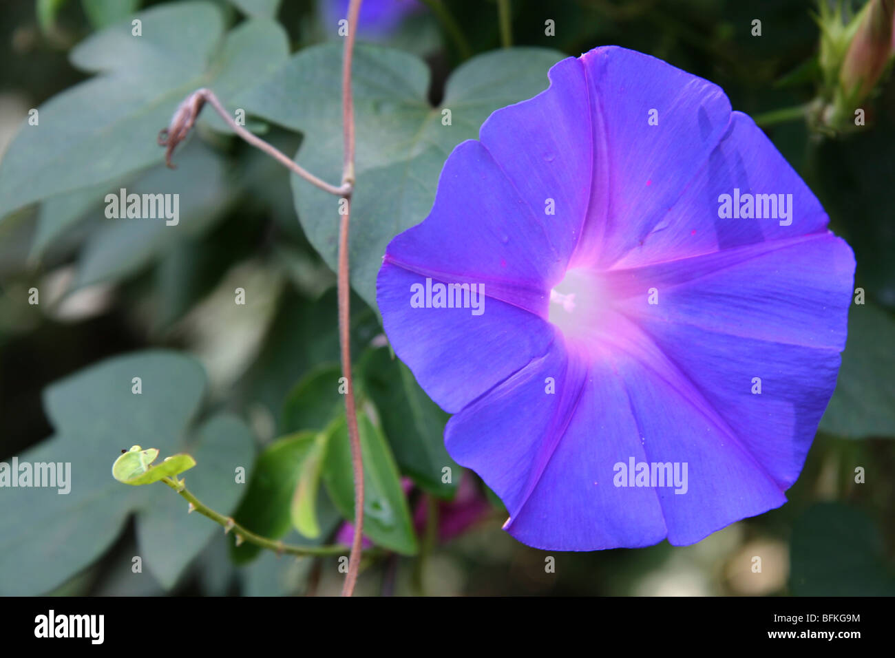 A bell shaped blue dawn glory flower in the wayanad district of a bell shaped blue dawn glory flower in the wayanad district of kerala in india izmirmasajfo Choice Image